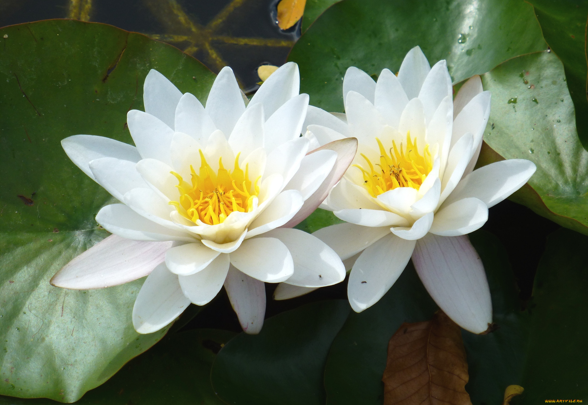 серой куропатки кувшинки фото цветка чего сроки поставки